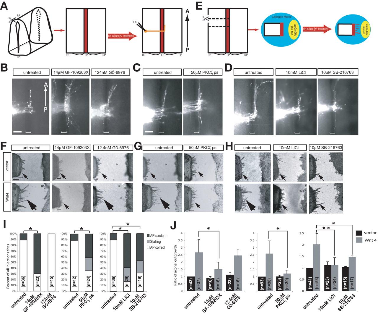 Phosphatidylinositol-3-Kinase–Atypical Protein Kinase C Signaling Is ...