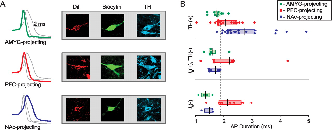 Midbrain Dopamine Neurons Projection Target Determines Action