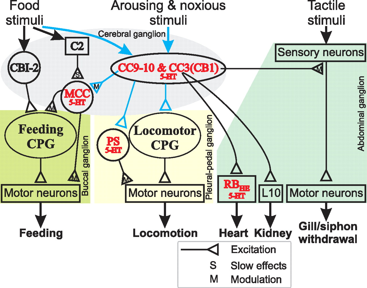 Neural Analog Of Arousal Persistent Conditional Activation A Circuits 8085 Projects Blog Archive Heart Rate Monitor Circuit Download Figure