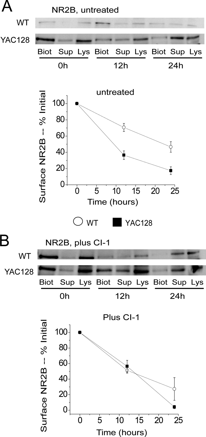 Polyglutamine Modulated Striatal Calpain Activity In YAC Transgenic