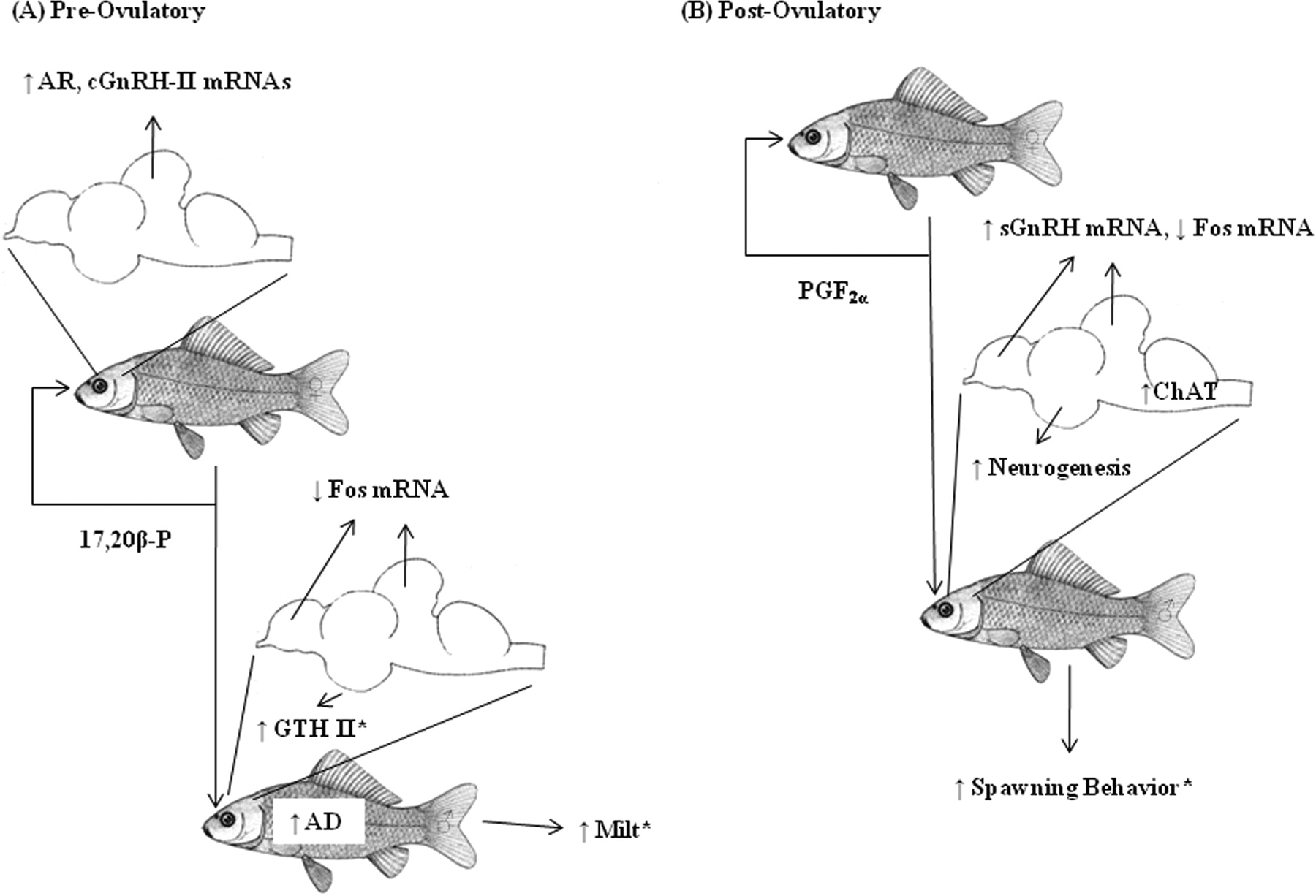 Neurogenic and Neuroendocrine Effects of Goldfish Pheromones   Journal of  NeuroscienceJournal of Neuroscience