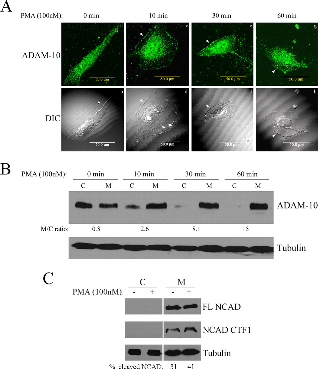pkc ç mediates glioblastoma cell proliferation through Mapk pathway in glioblastoma cells through pkc of egfr/c-src/pkc-delta induced cell proliferation in progression through the cell cycle as.