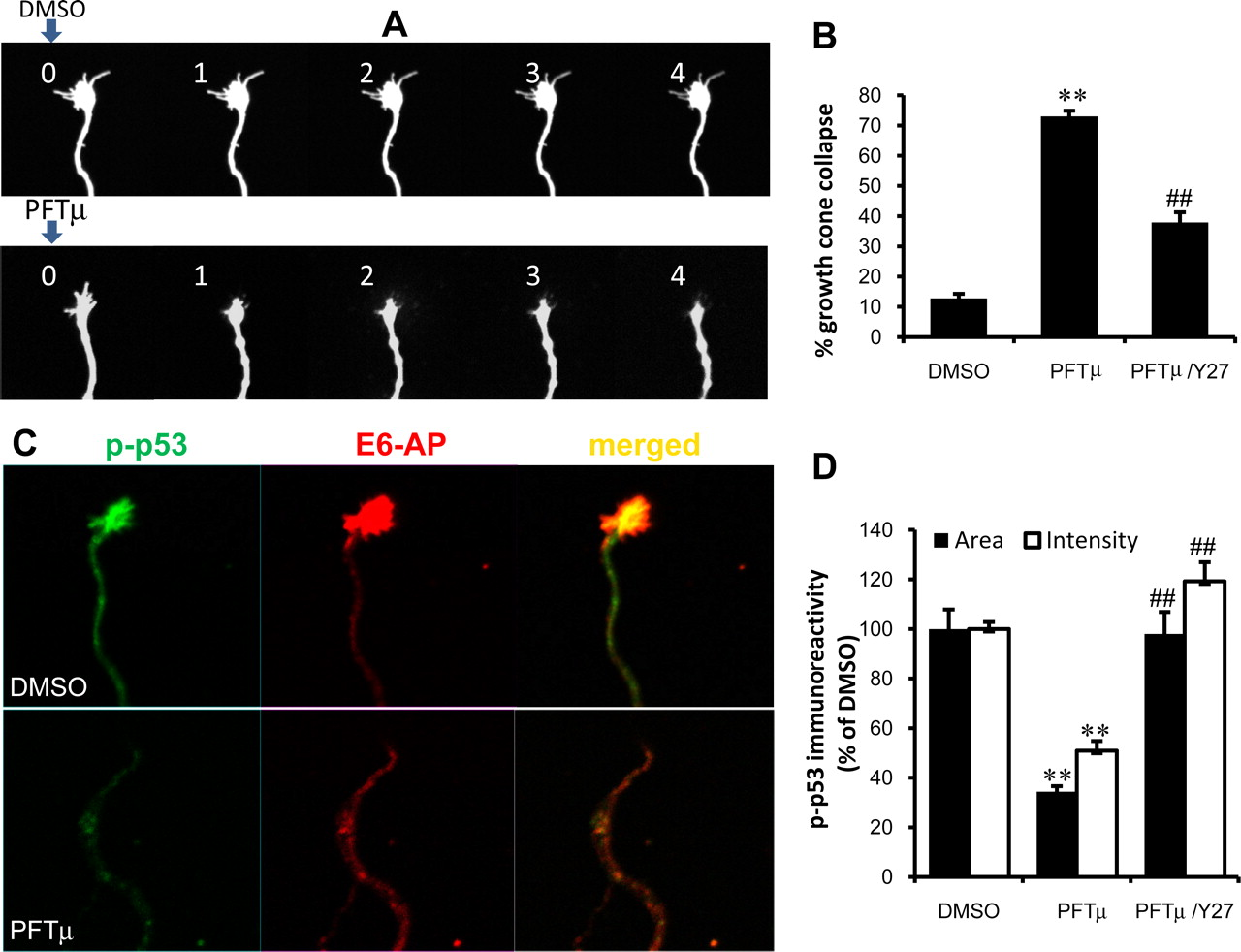 F6.large a novel function for p53 regulation of growth cone motility  at mifinder.co