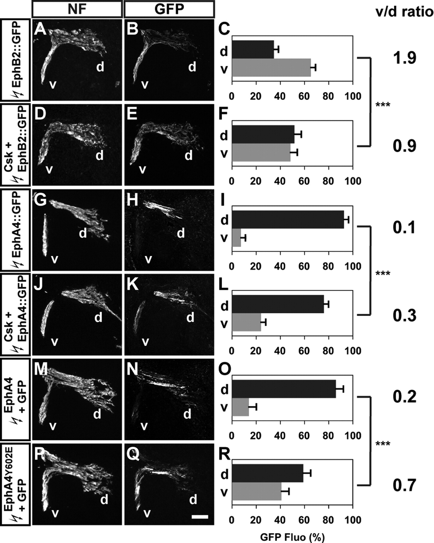 Src Family Kinases Are Required for Limb Trajectory Selection by