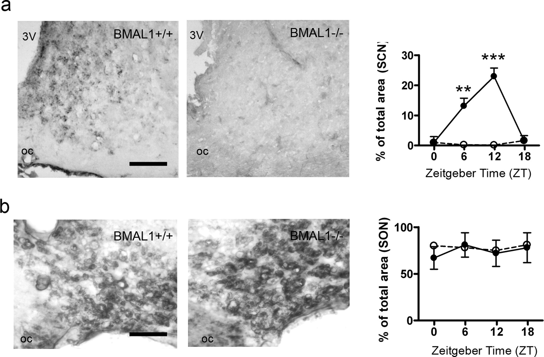 The Mammalian Molecular Clockwork Controls Rhythmic Expression of