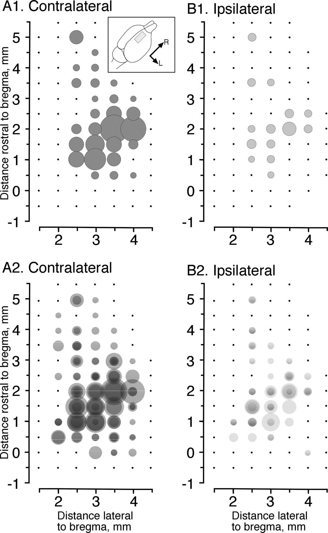 Motor Cortex Bilateral Motor Representation Depends on Subcortical