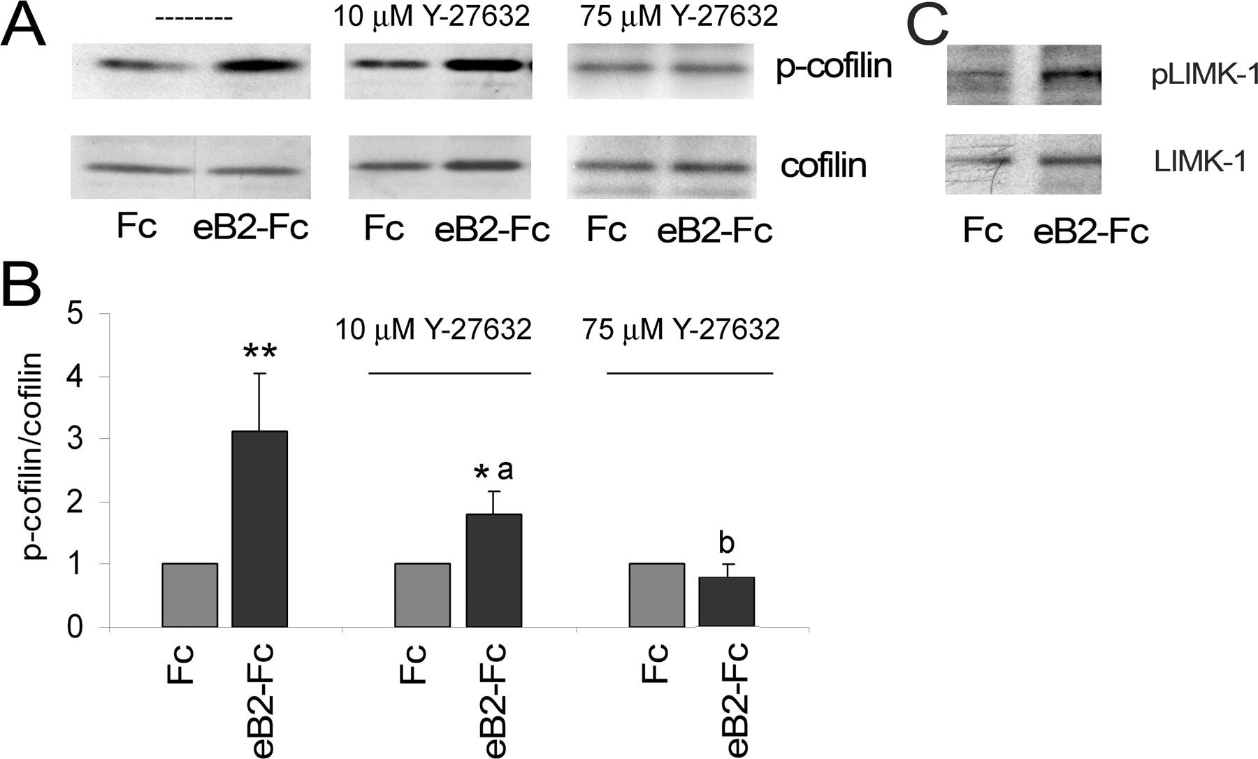 Figure 7    Focal Adhesion Kinase Acts Downstream of EphB Receptors
