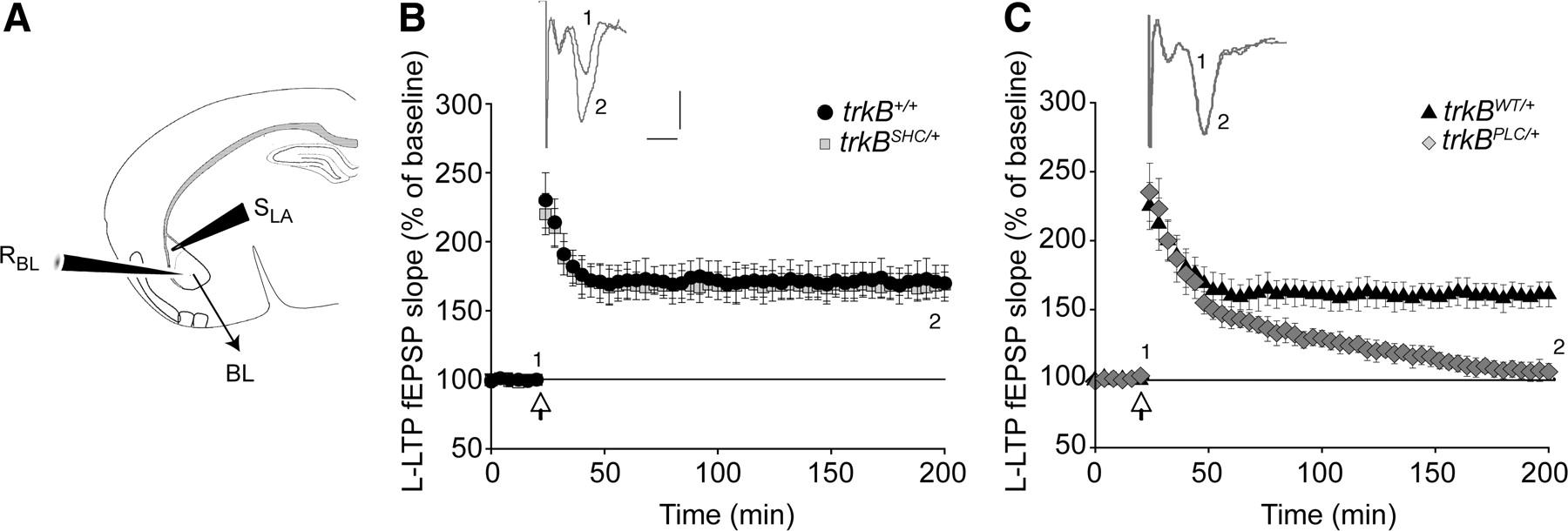 trkb modulates fear learning and amygdalar synaptic