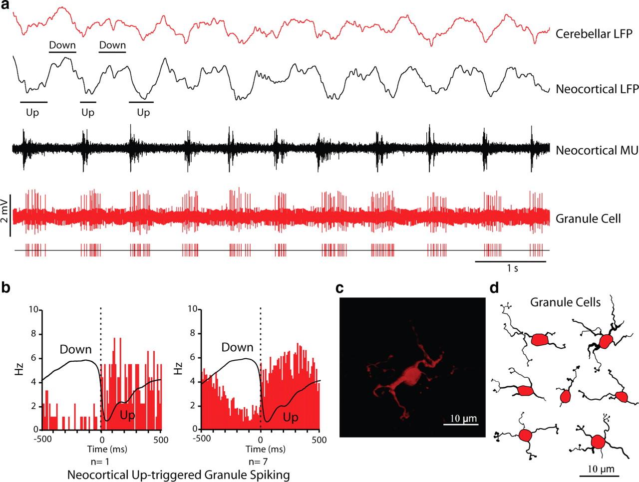 Neocortical Networks Entrain Neuronal Circuits In Cerebellar Cortex Figure 2 Basic Structure Of The Circuitry Cerebellum Download