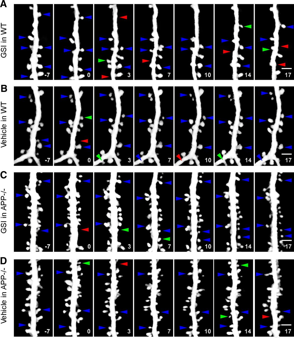 γ-Secretase Inhibition Reduces Spine Density In Vivo via an