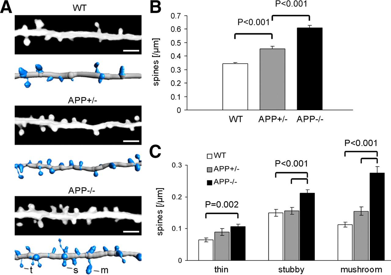 γ-Secretase Inhibition Reduces Spine Density In Vivo via an Amyloid