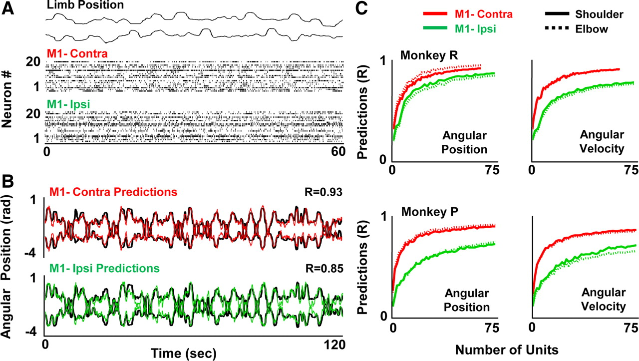 Cortical Representation of Ipsilateral Arm Movements in Monkey and