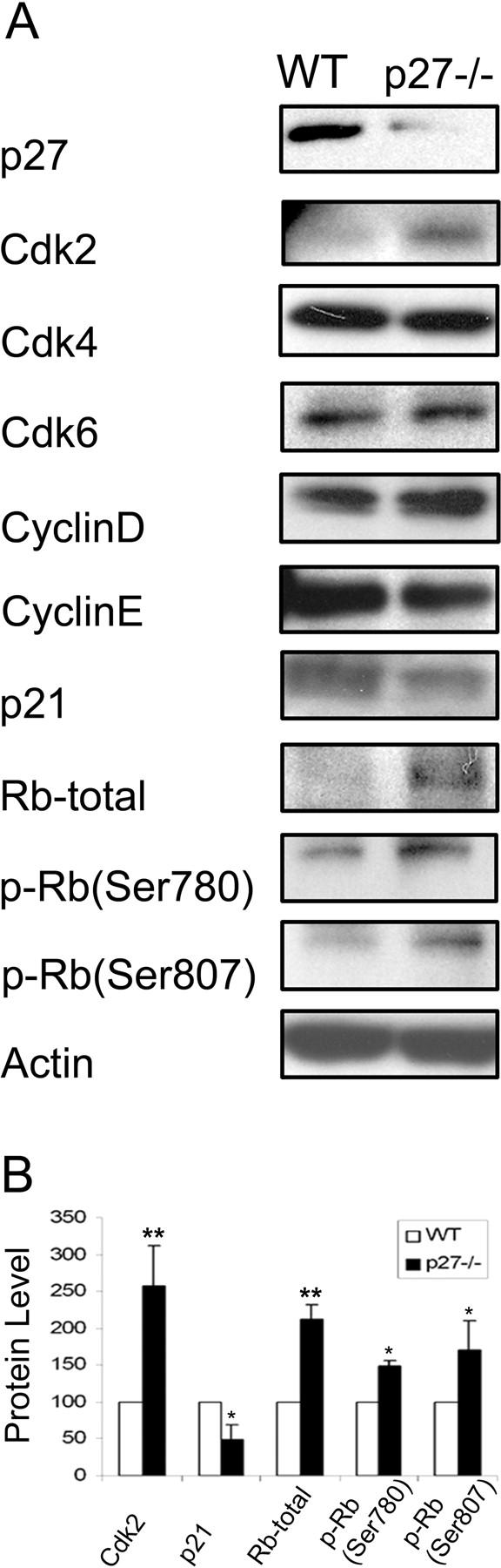p27KIP1 Regulates Neurogenesis in the Rostral Migratory