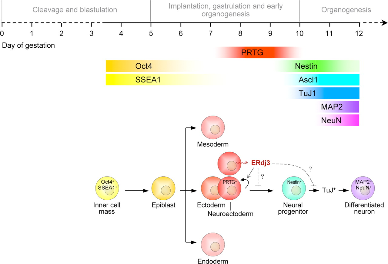 Protogenin Defines a Transition Stage during Embryonic