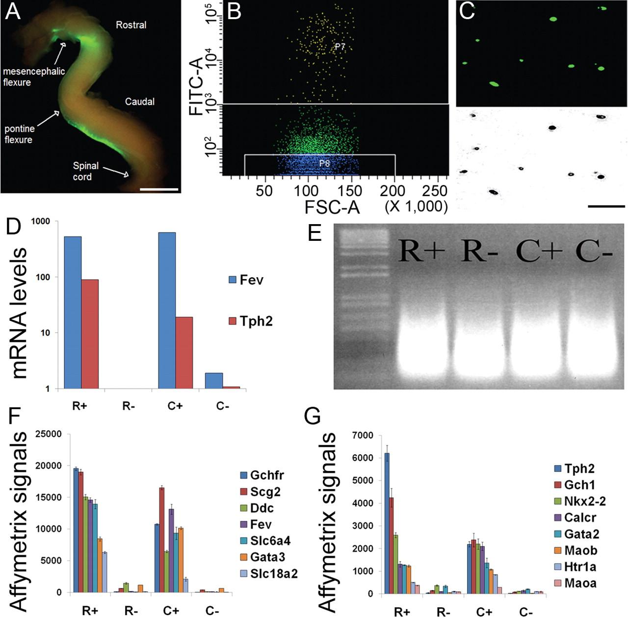 Distinct Transcriptomes Define Rostral And Caudal Serotonin Neurons