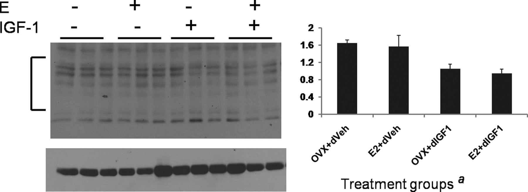 The Neurotoxic Effects of Estrogen on Ischemic Stroke in