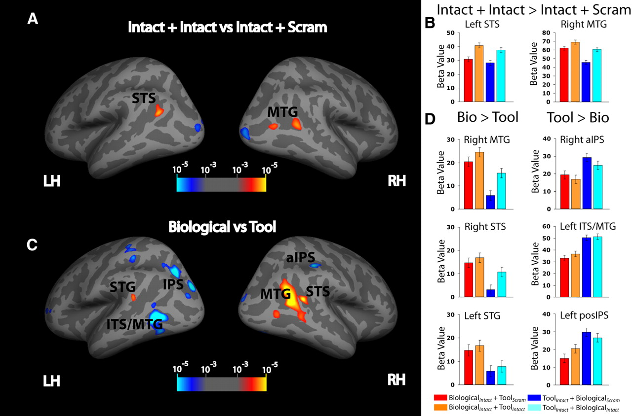 Object-Based Attentional Modulation of Biological Motion