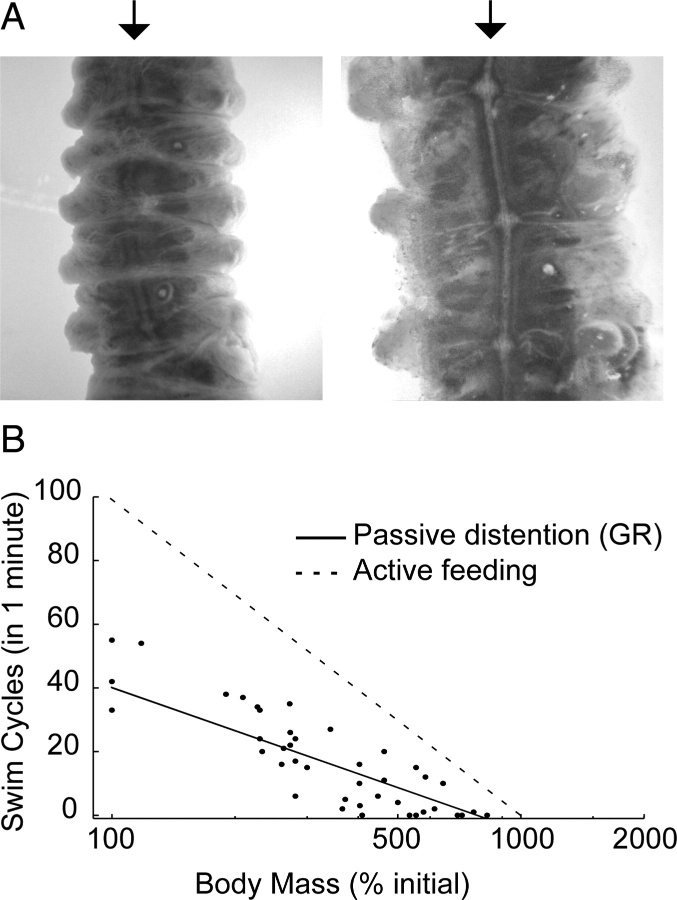 Feeding Mediated Distention Inhibits Swimming In The Medicinal Leech