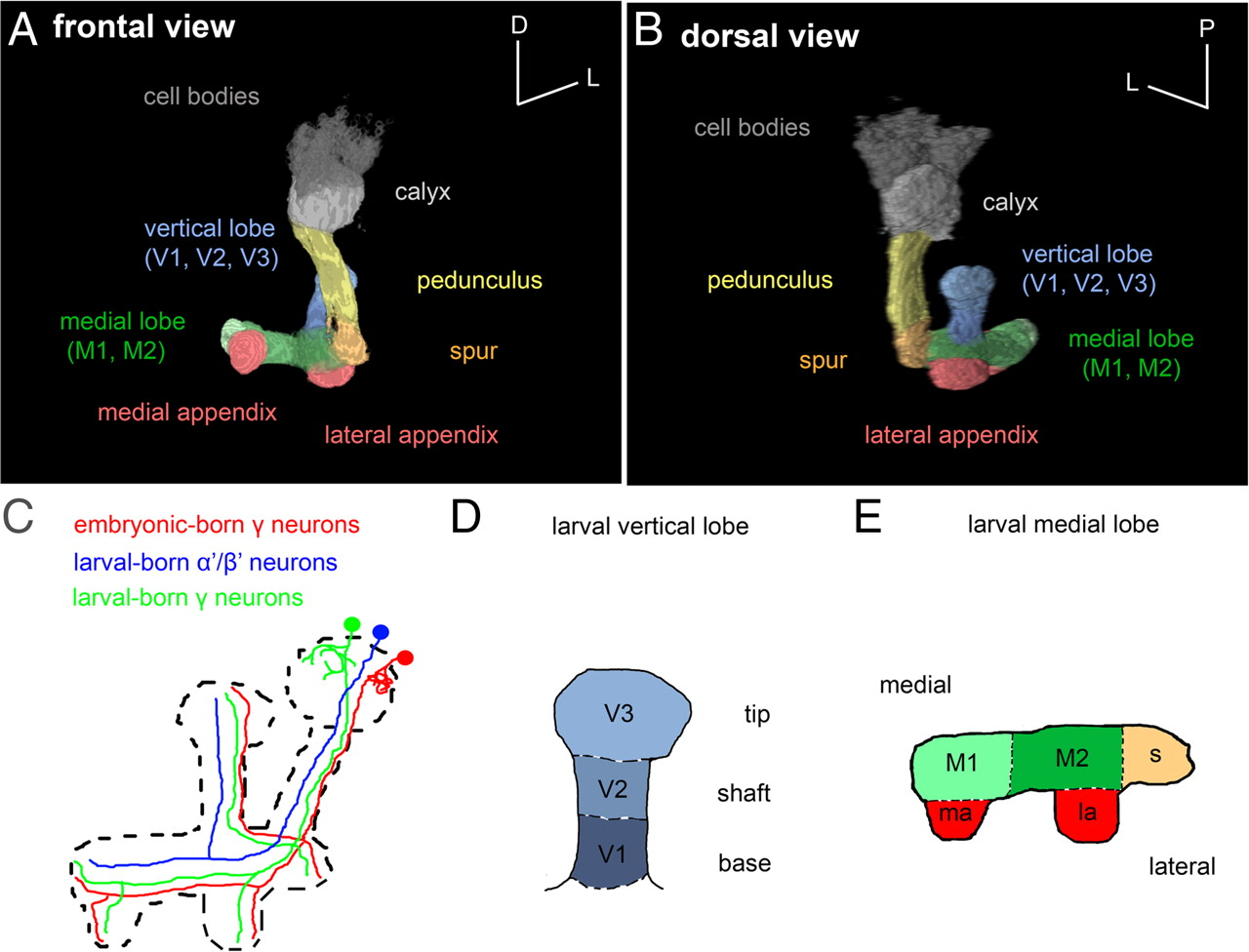 Fantastisch Drosophila Larve Anatomie Fotos - Menschliche Anatomie ...