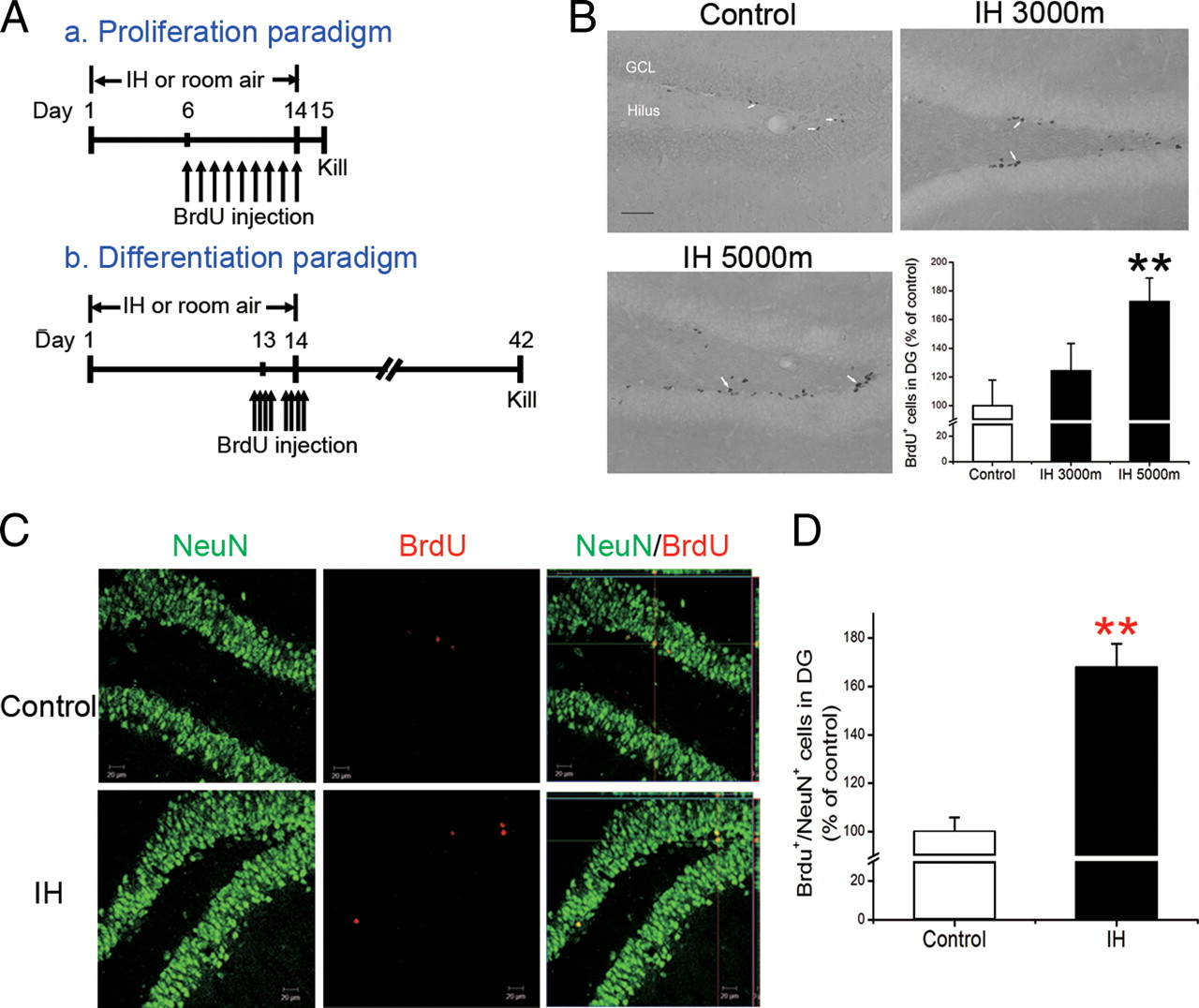 Intermittent Hypoxia Promotes Hippocampal Neurogenesis and