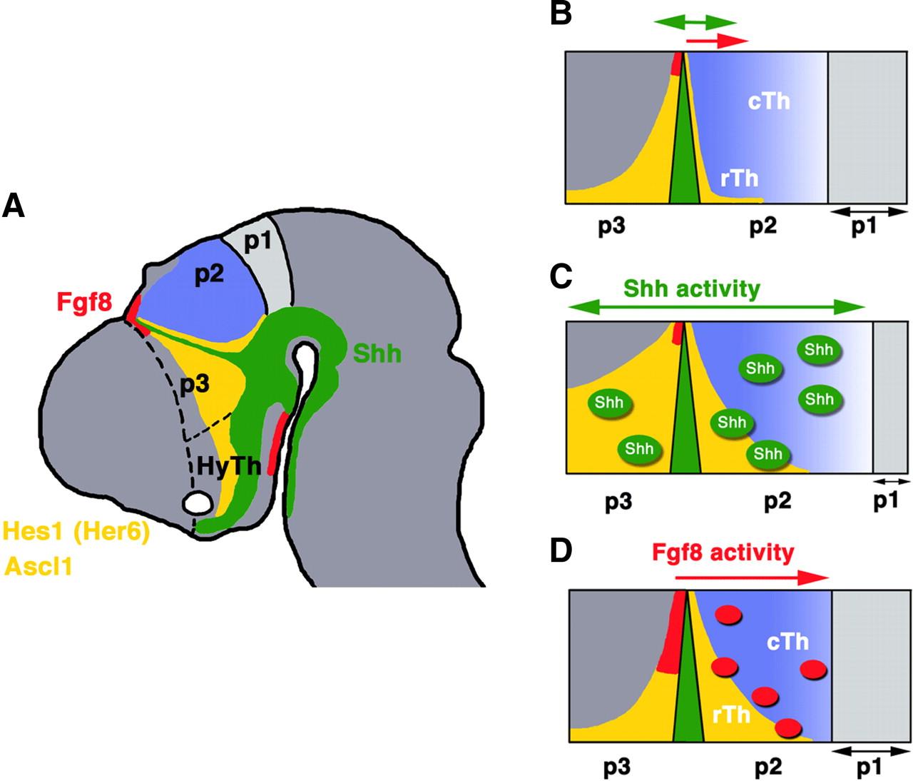 Molecular Pathways Controlling Development Of Thalamus And