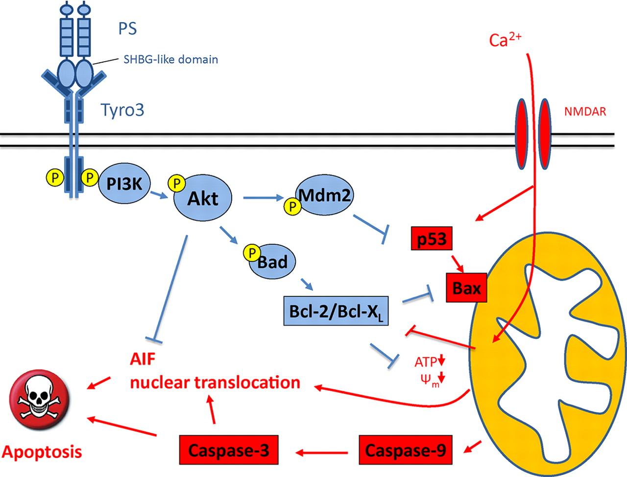 Tyrosine Phosphorylation