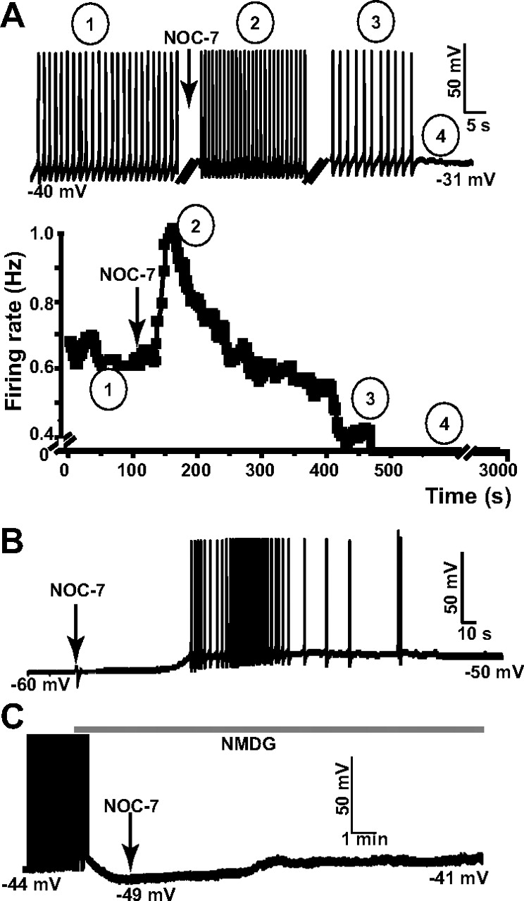 Nitric Oxide Acts as a Volume Transmitter to Modulate Electrical ...