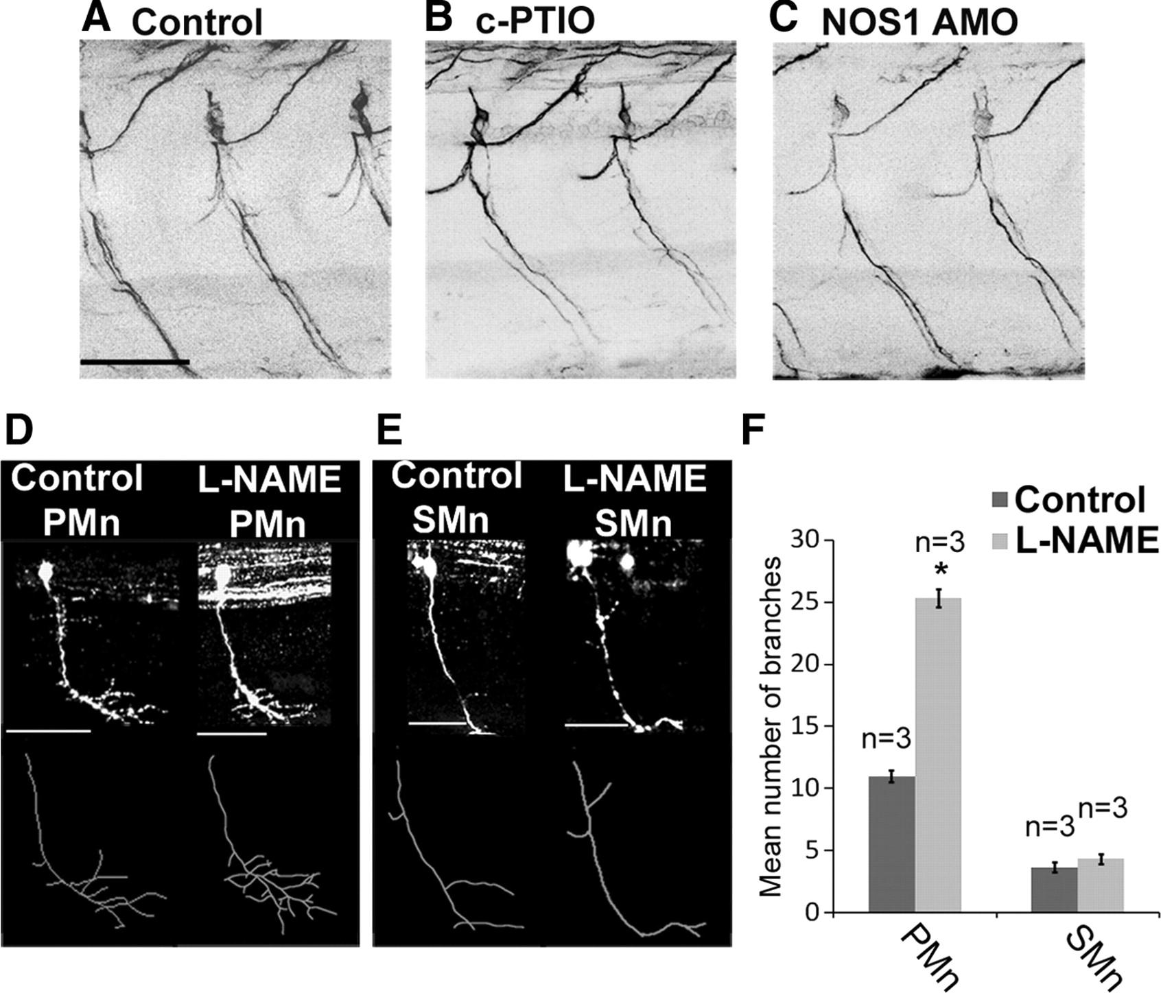 Nitric Oxide Synthase Regulates Morphogenesis of Zebrafish Spinal ...