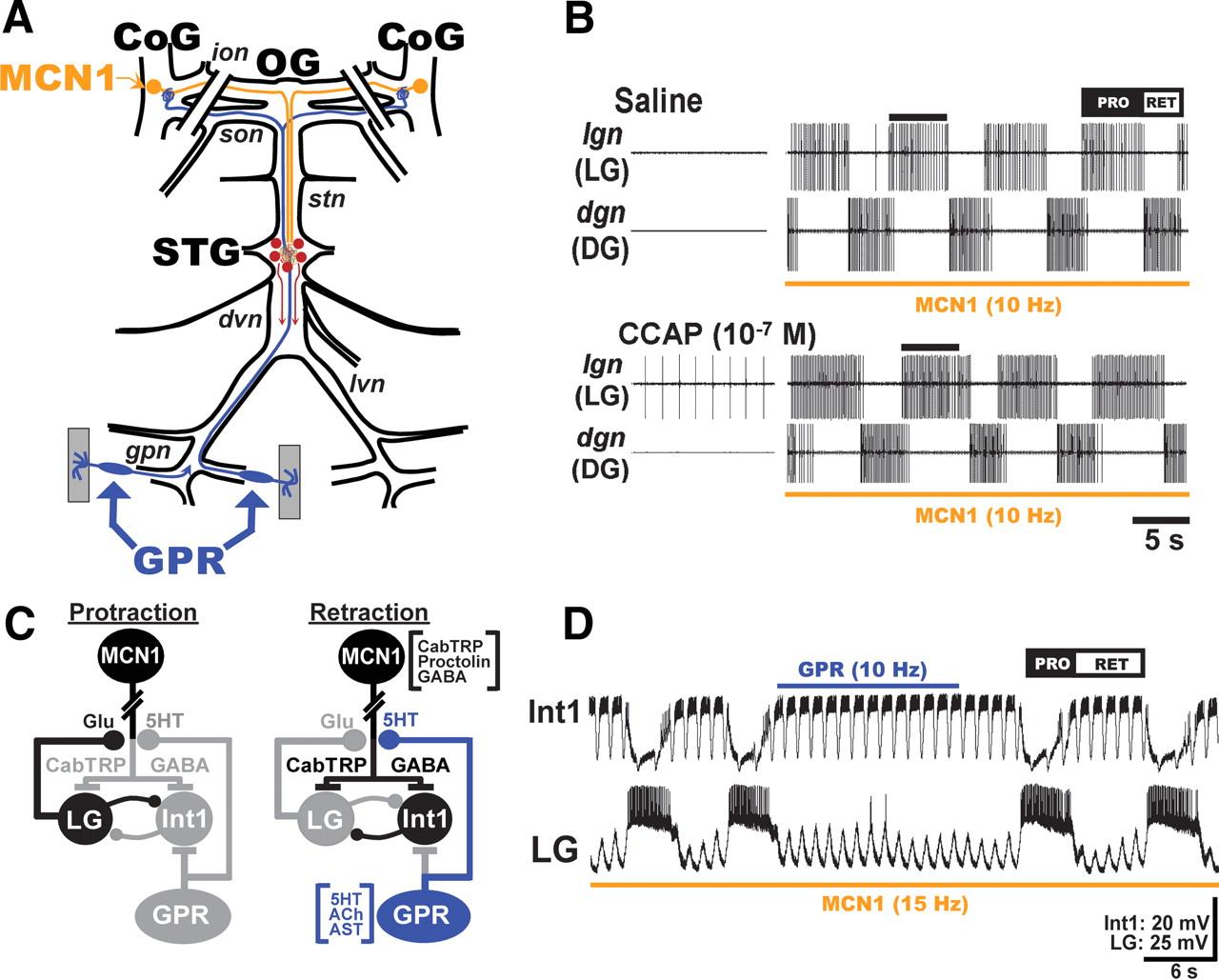 Hormonal Modulation of Sensorimotor Integration | Journal of ...