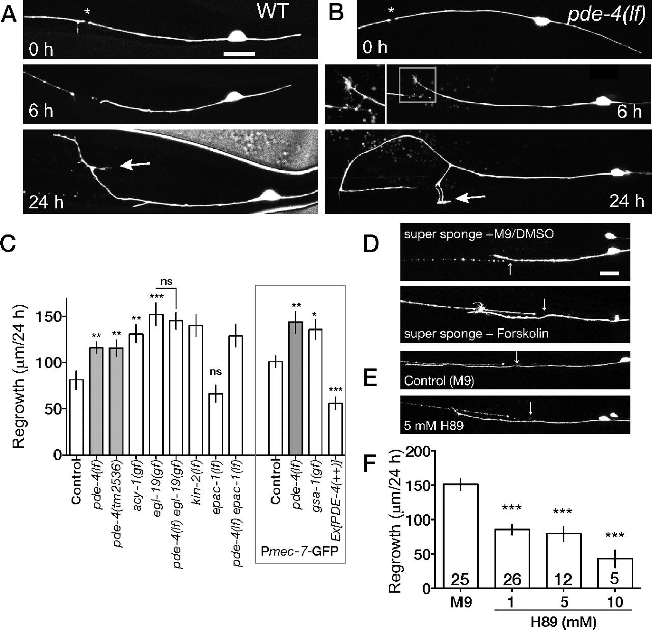 Calcium and Cyclic AMP Promote Axonal Regeneration in ...