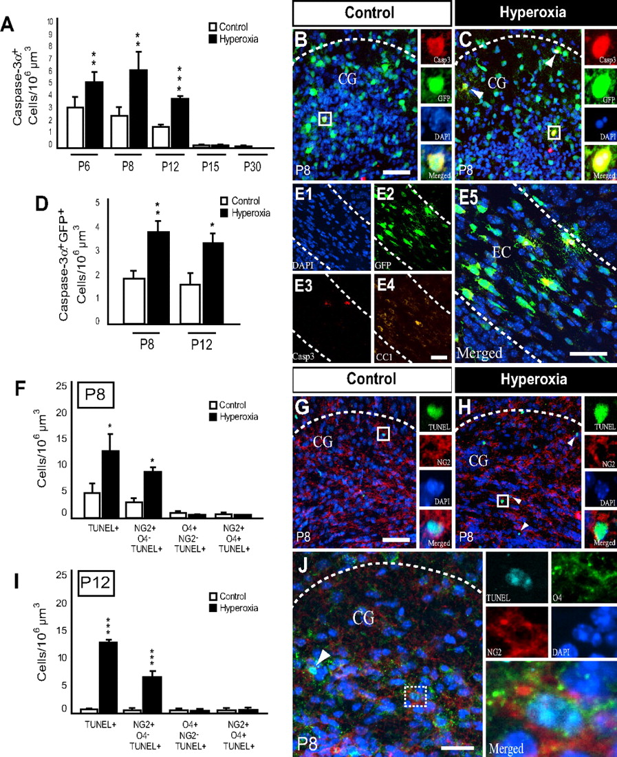 Cellular Changes Underlying Hyperoxia-Induced Delay of White Matter