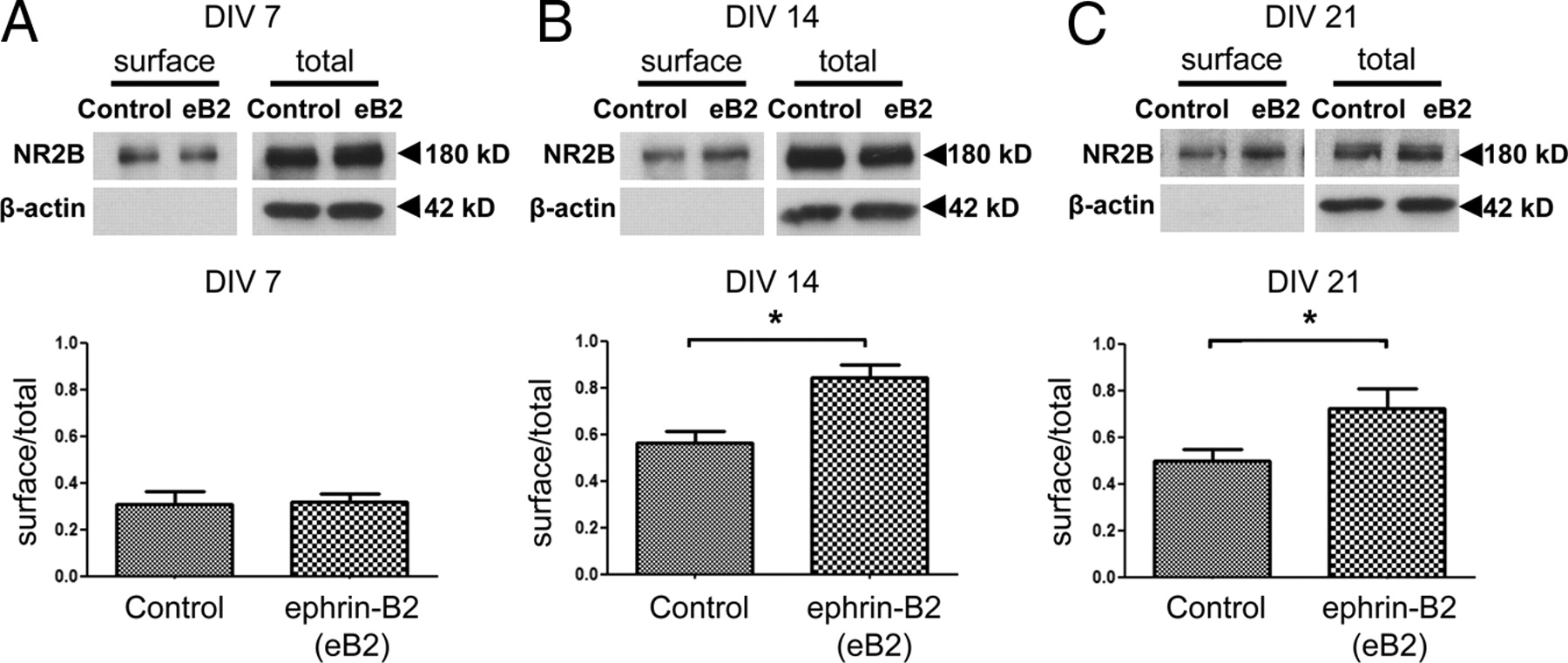 EphB Controls NMDA Receptor Function and Synaptic Targeting