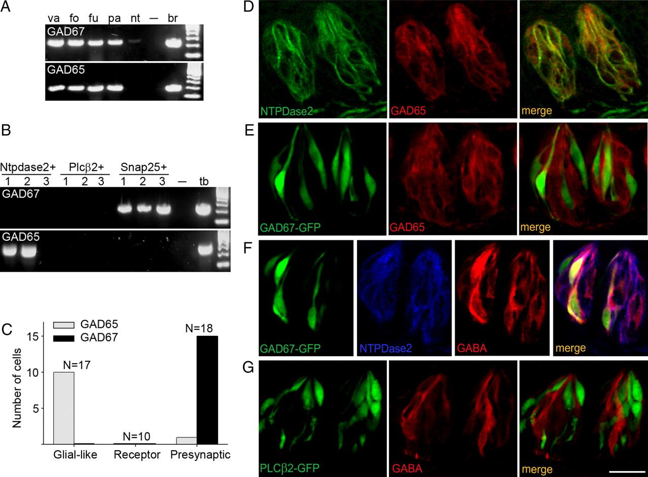 Gaba Its Receptors And Gabaergic Inhibition In Mouse Taste Buds