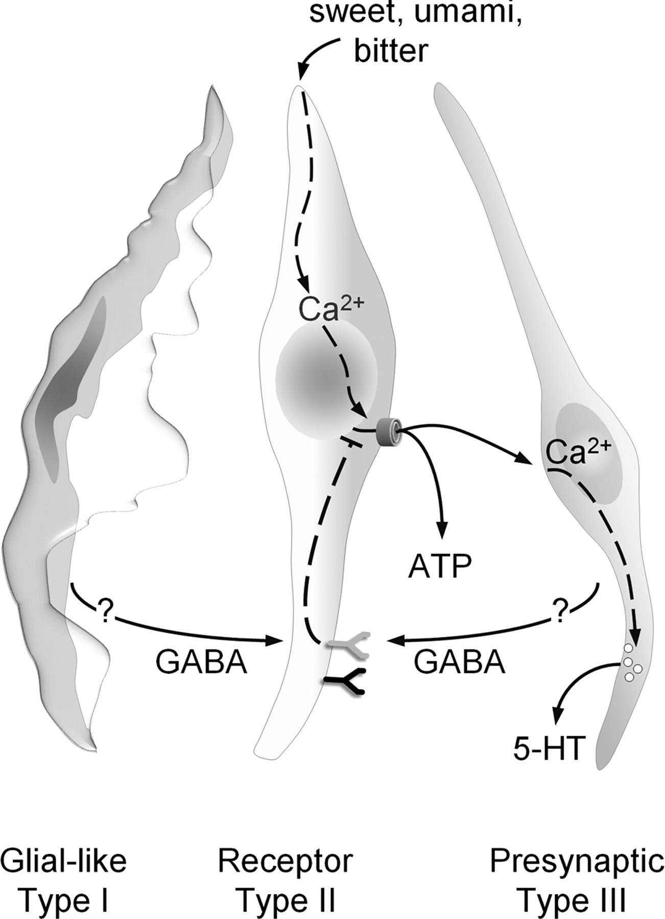 Gaba Its Receptors And Gabaergic Inhibition In Mouse Taste Buds