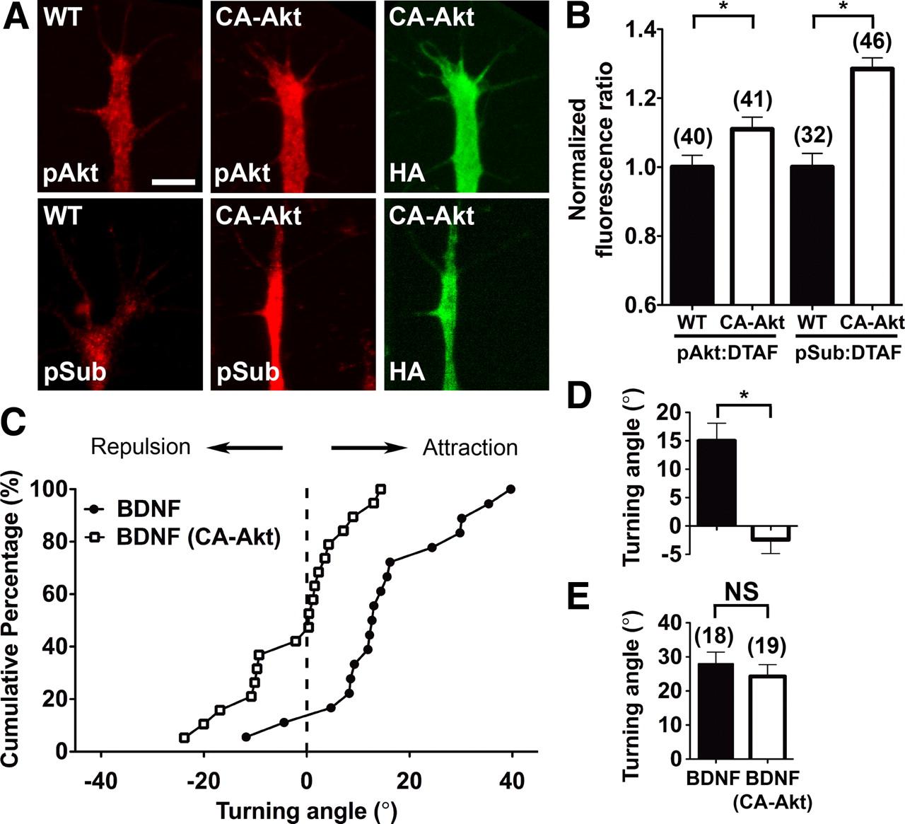 Asymmetric Pi345p3 And Akt Signaling Mediates Chemotaxis Of Jacinto 6 Block Diagram Download Figure