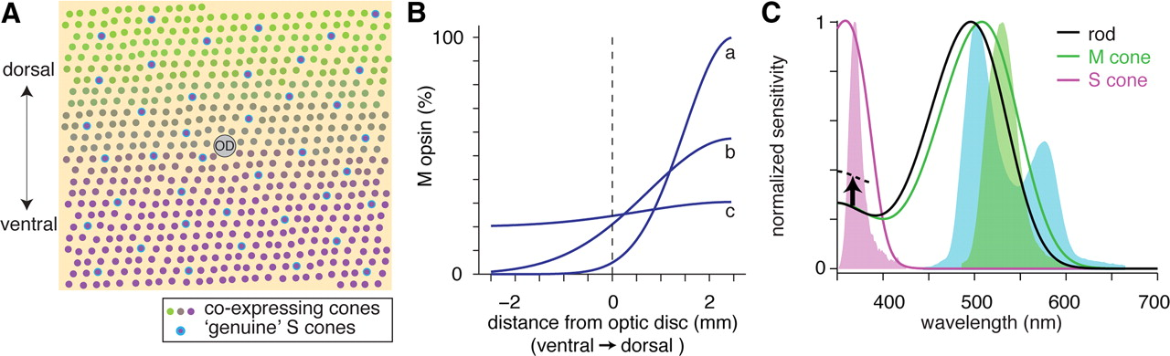 Spectral And Temporal Sensitivity Of Cone Mediated Responses In