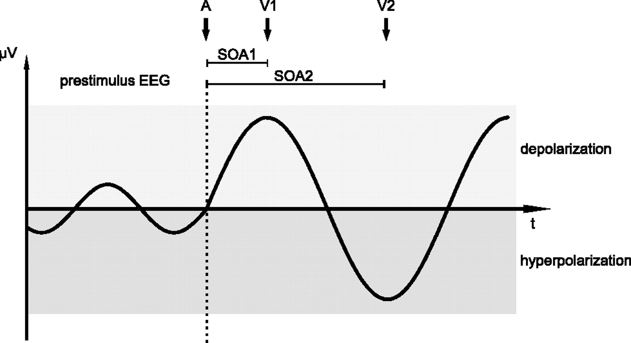 Auditory Event Related Response In Visual Cortex Modulates Eeg Schematic Download Figure