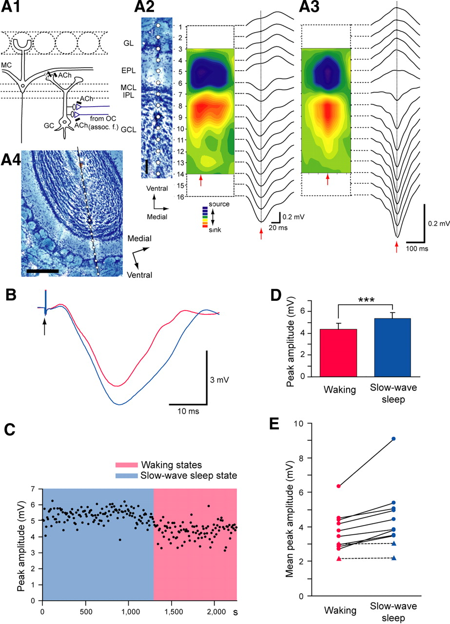 Olfactory cortex generates synchronized top down inputs to the download figure ccuart Images