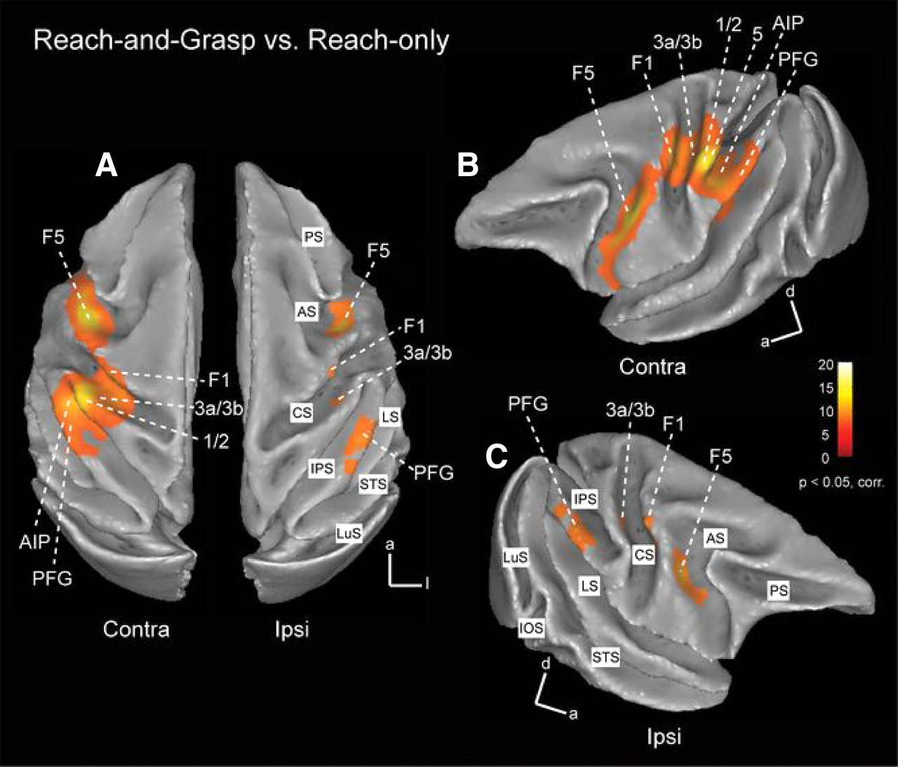 Grasping-Related Functional Magnetic Resonance Imaging Brain ...