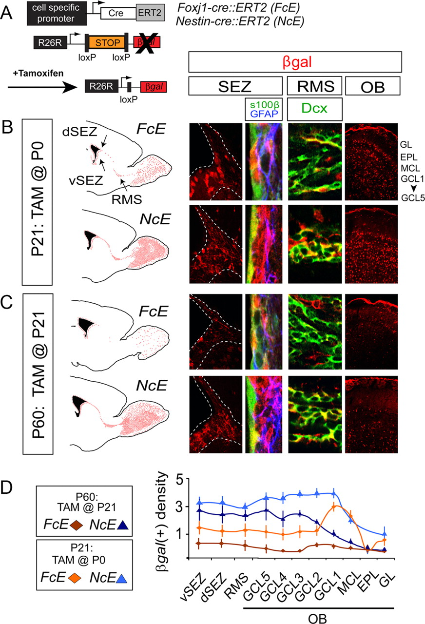 Specification of a Foxj1-Dependent Lineage in the Forebrain