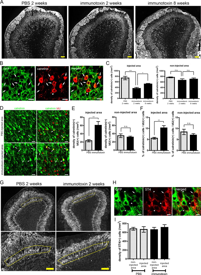Compensation of Depleted Neuronal Subsets by New Neurons in
