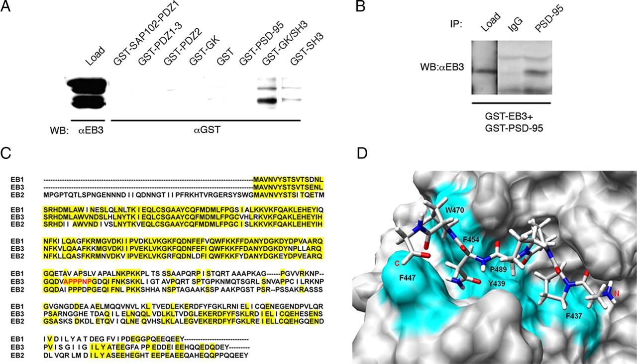 PSD-95 Alters Microtubule Dynamics via an Association With EB3