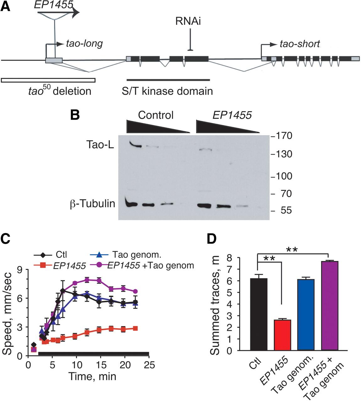 Drosophila Tao Controls Mushroom Body Development And Ethanol 2015 50cc Engine Diagram Download Figure