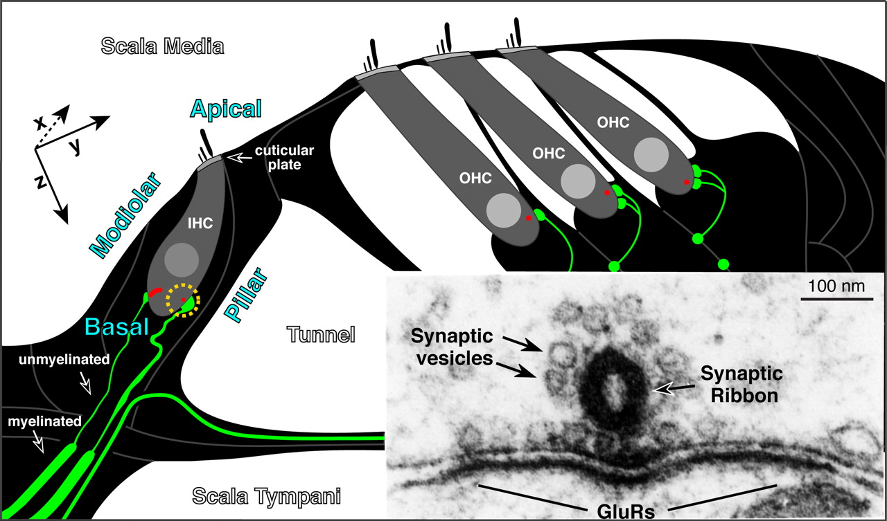 ribbon synapsen hidden hearing loss