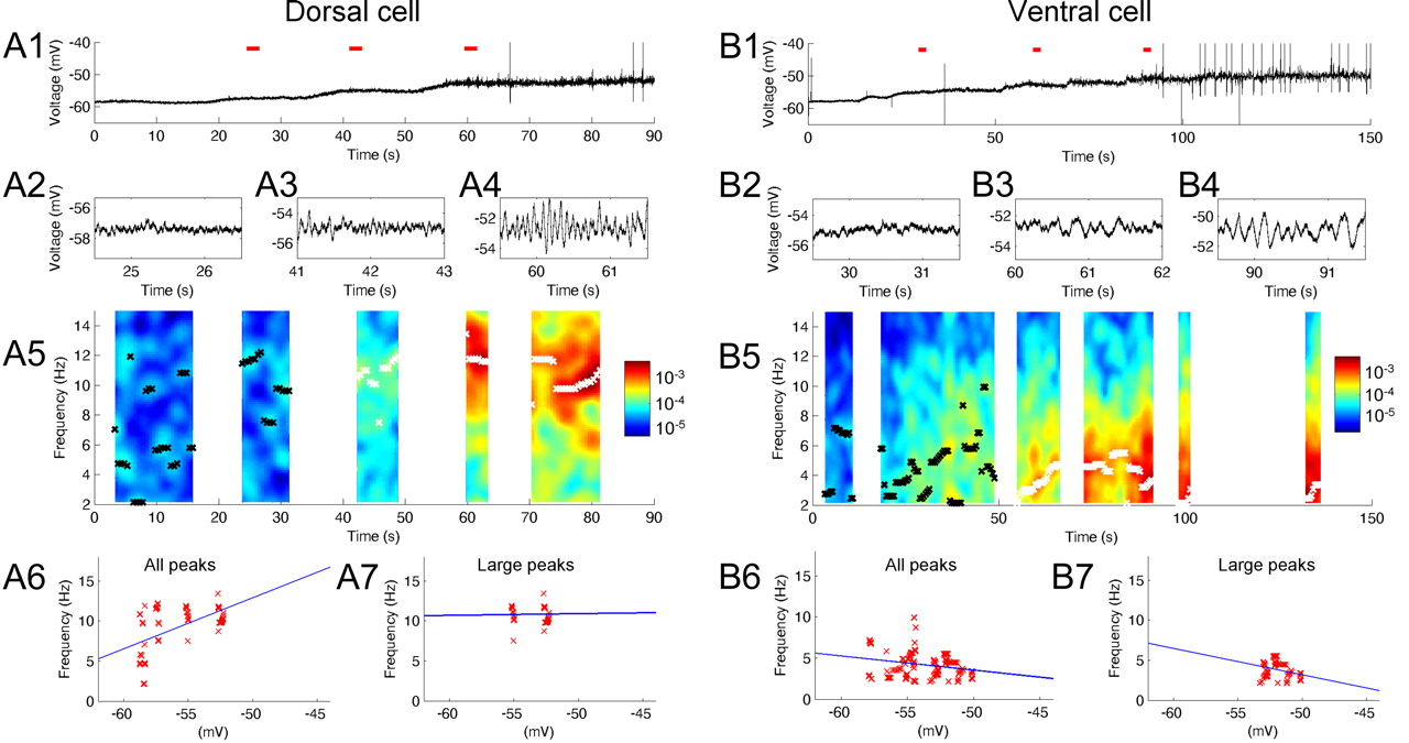 Frequency of Subthreshold Oscillations at Different Membrane ...