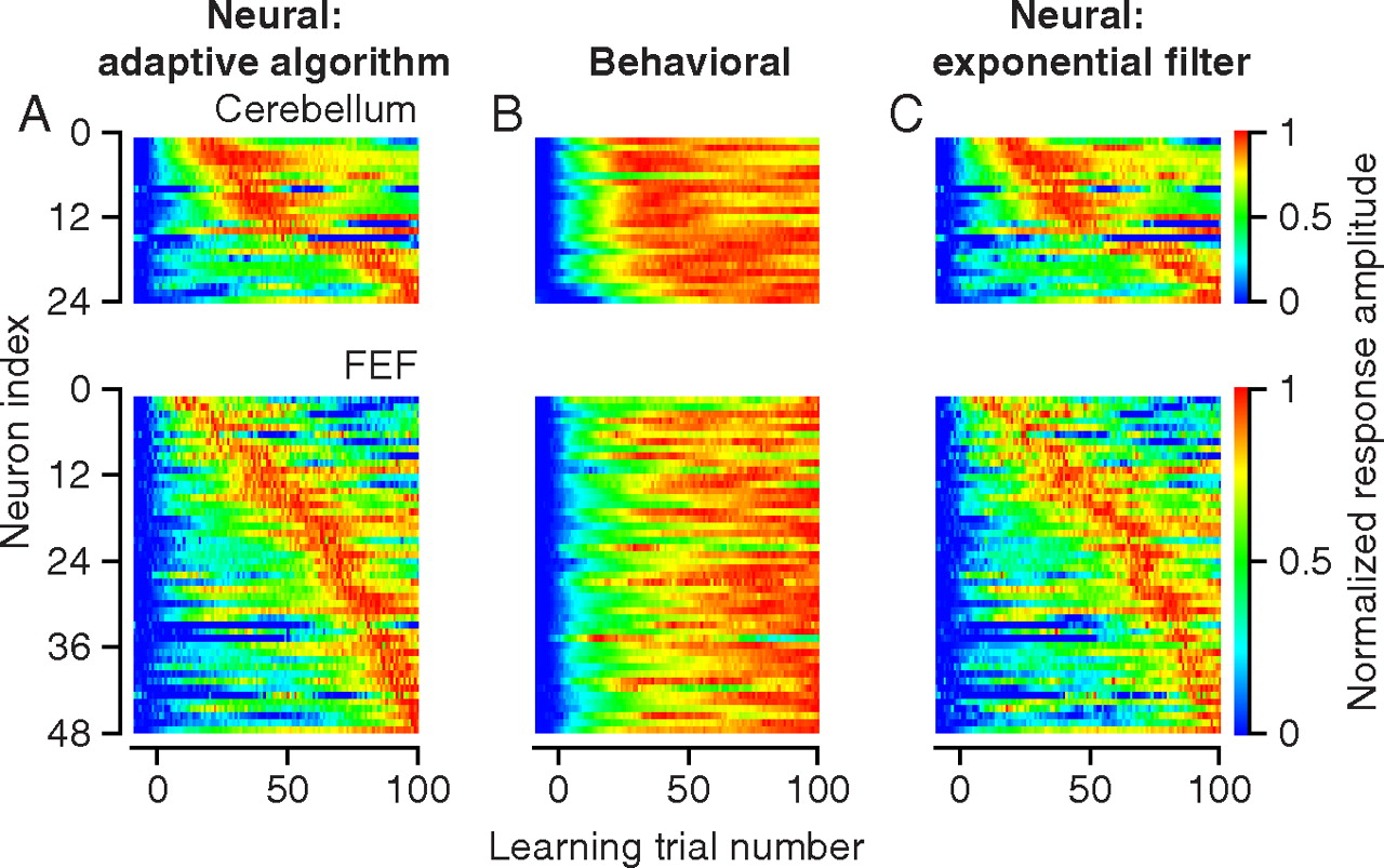 Acquisition of Neural Learning in Cerebellum and Cerebral Cortex for