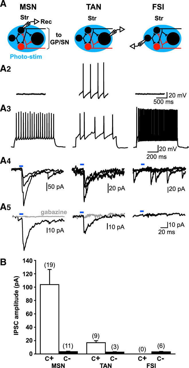 Functional Connectome of the Striatal Medium Spiny Neuron | Journal