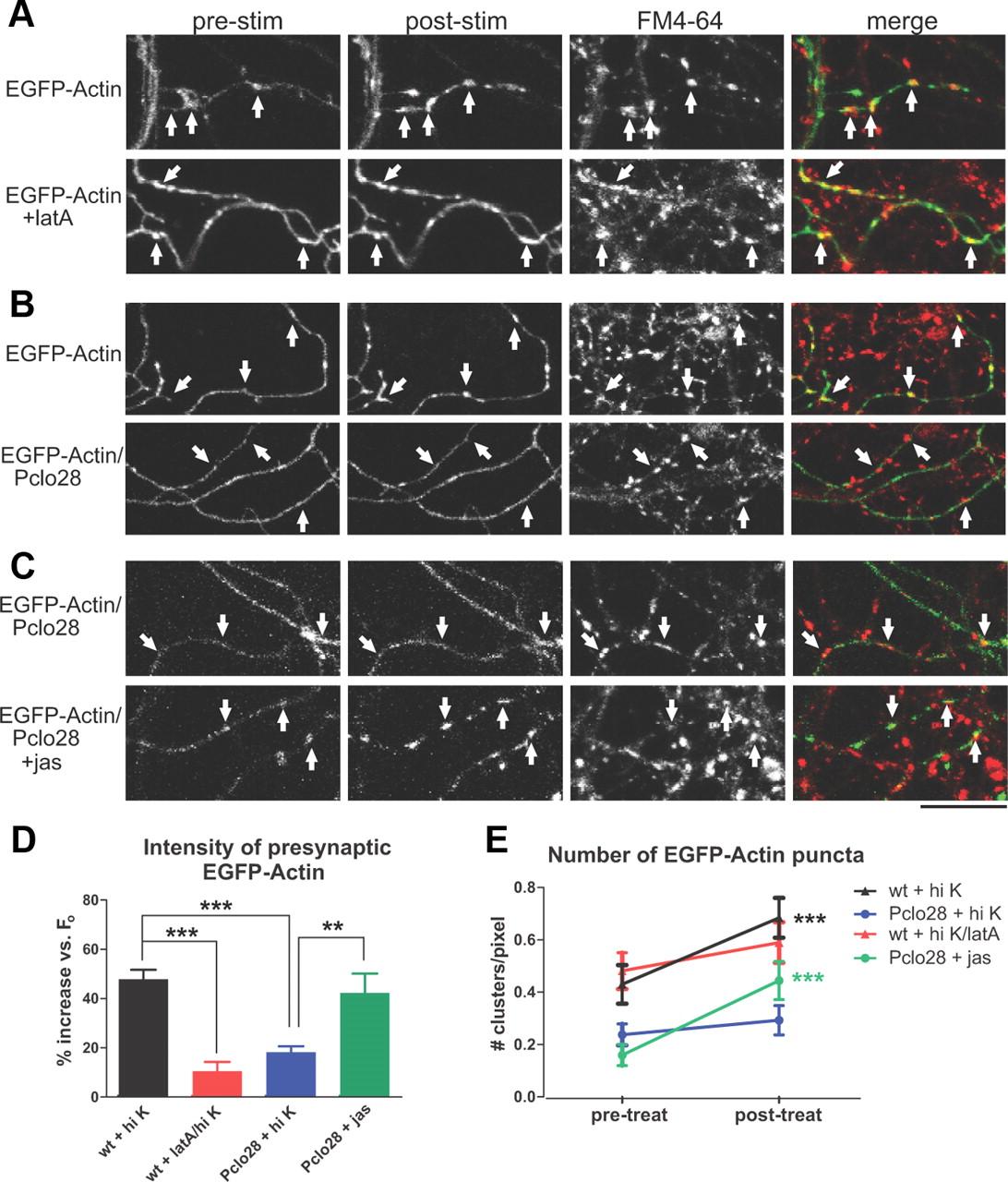 piccolo regulates the dynamic assembly of presynaptic f actin rh jneurosci org