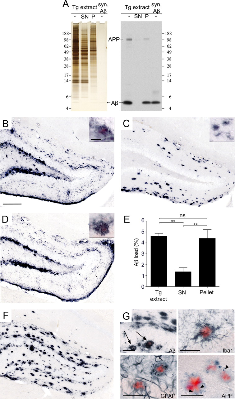 Soluble Aβ Seeds Are Potent Inducers of Cerebral β-Amyloid