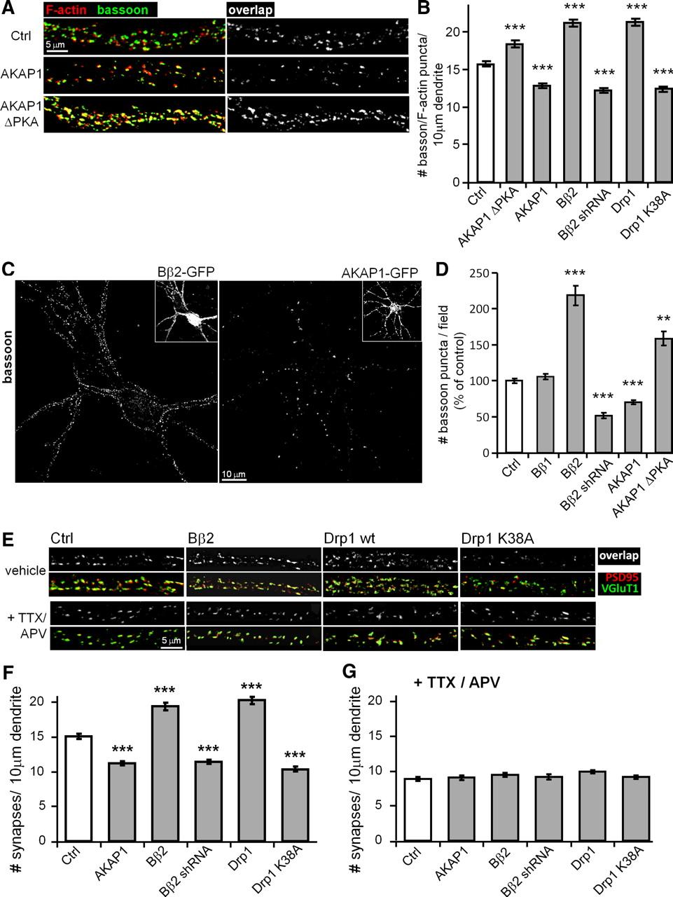 PKA/AKAP1 and PP2A/Bβ2 Regulate Neuronal Morphogenesis via